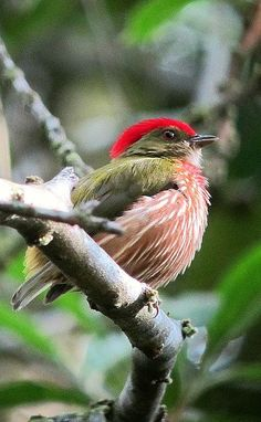 The Striped Manakin (Machaerop-terus regulus) is a small South American species of bird in the Pipridae family. Its distribution is highly disjunct: The nominate subspecies is found in Atlantic Forest in eastern Brazil, while the striolatus group is found in forests in western Brazil, NE Peru, eastern Ecuador, Colombia, & western & southern Venezuela.