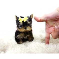 3) something tiny - micro teacup yorkie