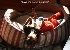 Minpins LOVE sun. This is Ariel. She was a rescue dog.