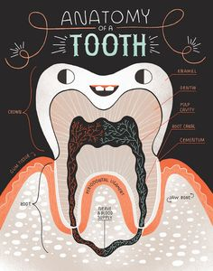 Anatomy of a Tooth: Art print and poster by Rachelignotofsky Low Income Dental Insurance Humor Dental, Dental Hygiene School, Dental Life, Dental Facts, Dental Hygienist, Dental Health, Oral Health, Children's Dental, Dentist Jokes