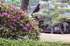 #garden, #azalea, #pink, #flower, #early summer,