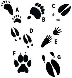 """Great stamping fun! Each stamp is mounted on a 2.5"""" square block and labeled with the animal's name. 1/3-1/5 the size of the actual track, these stamps are excellent for track recognition; or create a 'stamping station' at your nature center!    A - Black Bear Track Stamp B - Grizzly Bear Track Stamp C - Elk Track Stamp D - Moose Track Stamp E - Raccoon Track Stamp F - Wolf Track Stamp G - Buffalo Track Stamp"""