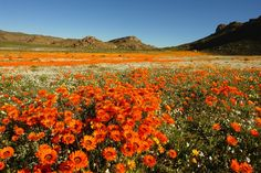 During spring, lovely daisies and other flowers fill the arid region of Namaqualand in Namibia and South Africa, creating a surreal kaleidoscope of colours.