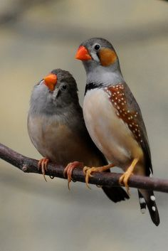 female and male zebra finches. wonderful little birds. can be kept in a large aviary.