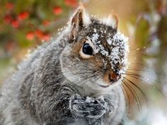 Wild Expedition by Christina Rollo © www.rollosphotos.com. Adorable portrait of an Eastern Gray Squirrel (Sciurus carolinensis) with snow covered face against festive background displays mischievous character in the outdoors on a wild expedition searching for food.