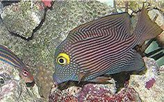 A profile of the Kole Tang, a surgeonfish which is reef safe and is great for consuming algae in a saltwater reef tank. Saltwater Aquarium Beginner, Saltwater Aquarium Fish, Saltwater Fishing, Fishing Uk, Fishing Girls, Kayak Fishing, Tang Fish, Salt Water Fish, Fishing Supplies
