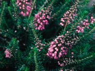 Erica vagans, Cornish heath, has distinctive blooms with lilac color add a unique ingredient to the beauty of a garden in late summer. Its reddish brown seed heads hang on through the winter adding a decorative touch to the landscape.