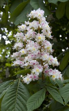 The chestnut bud bach therapy pinterest chestnut bud bach flower remedy white chestnut helping us when worries or problems consume us going round round in our troubled minds mightylinksfo Choice Image