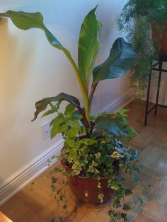 Growing Bananas Indoors: Bananas can form beautiful and striking indoor container gardens, as this container planted with coleus, ivy and a banana centerpiece demonstrates. Banana Plant Indoor, Banana Plants, Fruit Plants, Fruit Trees, Trees To Plant, Plant Leaves, Ivy Plants, Garden Plants, Indoor Plants