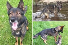 Nero the hero police dog saved from untimely end bounces back after surgery on two slipped discs
