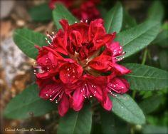 Conrad Art Glass & Gardens... rhododendron