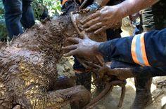 """ANIMAIS SÃO RESGATADOS DA LAMA - No dia seguinte à tragédia, bombeiros resgataram um potro que ficou preso na lama após as barragens da mineradora Samarco se romperem na tarde de quinta-feira (5). """"Os bombeiros trabalham com vida, qualquer forma de vida"""", lembrou o subtenente Selmo de Andradre"""