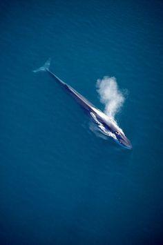 fin #whale (Balaenoptera physalus) spouting, Sea of Cortez, #Mexico.
