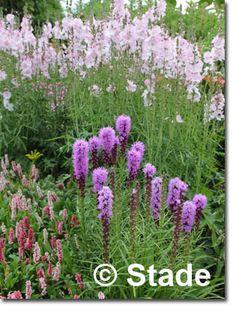 Liatris spicata 'Kobold' (Ährige Garten-Prachtscharte) Bild 2
