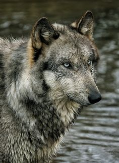 ˚Wolf Portrait - by hair leibovich