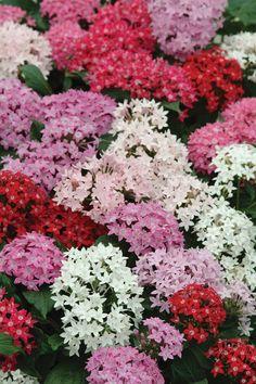 pentas plants