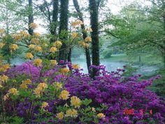 Beautiful purple azaleas mixed with yellow rhododendrons --  Pinecrest Azalea Gardens in Missouri | VisitMO.com