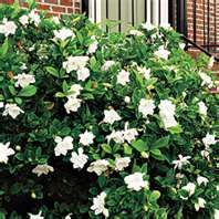 Gardenia Bush, beautiful fragrant flower. (in front of garage, x4, 05/11/2013 Home Depot) ***Cover in Winter***