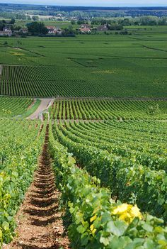 the vineyards of Chevalier-Montrachet,  and Batard-Montrachet in Puligny-Montrachet, Burgundy, France. Taken by Jonathan Caves July 2007