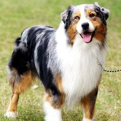 Australian Shepherd... I love the beautiful merle coloring, and especially when they have one blue eye and one brown eye ... or blue eyes!
