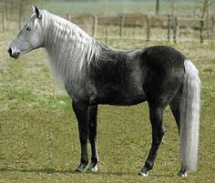 Barb stallion, Hades al Shatane. Most Beautiful Animals, Beautiful Horses, Beautiful Creatures, Rare Horses, Wild Horses, Rare Horse Colors, Horse Markings, Majestic Horse, Horse Stables