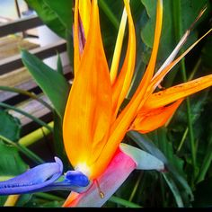 Bird of paradise Amazing Flowers, Southern California, Flower Power, San Diego, Paradise, Yard, Australia, Gardening, Spaces