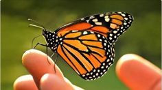 Sponsorisez Leader, Liberal Party of Canada/Chef, Parti libéral du CanadaJustin Trudeau, Michelle Obama: Save the Monarch Butterfly extinction by creating a pesticide free corridor