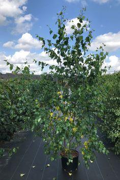 Mature Betula Pendula Silver Birch Trees for Sale Online UK