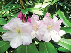 "rhododendrons 'Fundy' ""very fragrant"""
