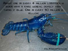 Random Facts- Blue lobsters copy