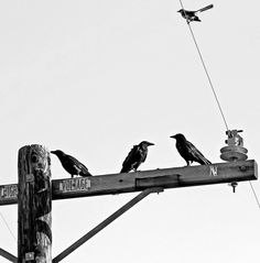 Three Ravens and a Mockingbird (for Roni, spiders-photos).