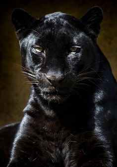 Coal Black Leopard.