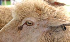 Owce to cudowne, a zarazem niezwykle wymagające istoty. To zajęcie wyłącznie dla wysportowanych baców, którzy dysponują odpowiednim wymiarem praktyk, zdobytym przez wiele lat na hali. Ponadto, zobowiązani są oni systematycznie się rozwijać, ponieważ pojawiają się kolejne skuteczne sposoby wypasu. To niezbyt lekki kawałek chleba, nie dla wszystkich. Potrzeba olbrzymiej wiedzy, lecz też predyspozycji psychicznych i wytrwałości.