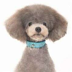 One stop shop for designer dog clothes and accessories - Celebrity Collar Blue puppy Collars, Leads & Harnesses - Other Collar Collections; for small big dogs pets & puppies. Fancy Dog Collars, Puppy Collars, Leather Dog Collars, Designer Dog Collars, Designer Dog Clothes, Dog Boutique, Mini Dachshund, Pet Puppy, Big Dogs