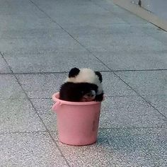 baby pandas New Ideas baby animals animated so cute Niedlicher Panda, Panda Bebe, Photo Panda, Baby Panda Bears, Baby Pandas, Cute Panda Baby, Animals And Pets, Funny Animals, Wild Animals