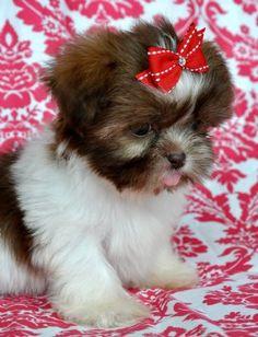 Tiny Shihtzu PuppyChocolate 23 oz @