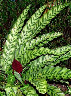 Calathea makoyana leaves by Stickpen Leafy Plants, Variegated Plants, Colorful Plants, Foliage Plants, Water Plants, Cool Plants, Garden Plants, House Plants Decor, Plant Decor