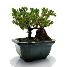 Juniper Tree, Juniper Bonsai, Bonsai Trees For Sale, Indoor Bonsai, Miniature Trees, Bonsai Garden, Simple Lines, Clay Pots, Best Gifts