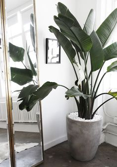 Houseplants but better: Indoor fruit trees. The list of fruit plants you can grow indoor is almost endless. We like to show you the ones that also brighten up your living. Dwarf trees make it possible to grow these fruits indoors, these are grafted from… Tall Indoor Plants, Big Plants, Fake Indoor Trees, Big House Plants, Inside Plants, Banana Plants, Banana Plant Indoor, Decoration Plante, Green Decoration