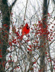 Lovely red bird