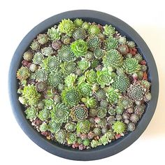 Small sempervivums had to be in the same pot!!! Sorry babies no more space for you. #sempervivum #succulentandfriends #succulent #succulents #succulentlover #sydneysucculent #sydneysucculents #succulentlovers #succulentcollection #succulentcollector #pot #plant #garden #succulentbonsai