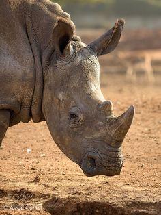 rhino by asco74 #animals #animal #pet #pets #animales #animallovers #photooftheday #amazing #picoftheday