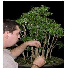 Roberto Serbanescu, bonsaista de Venezuela nacido el 19 de enero de 1970.