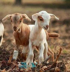 Floppy eared goat friends