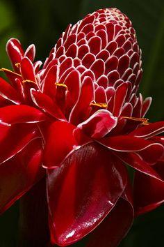 Red Ginger Flower By Julie Black
