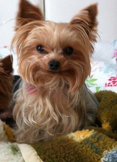 Do you know about Yorkshire Terriers? by L&G PET Photo by Pixabay from Pexels The Yorkshire Terrier originally originate. Chien Yorkshire Terrier, Yorkshire Terrier Haircut, Yorkies, Yorkie Puppy, Yorshire Terrier, Silky Terrier, Cute Puppies, Cute Dogs, Top Dog Breeds
