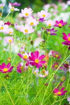 72 best cosmos flowers images on pinterest in 2018 cosmos flowers cosmos flowers are the october birth month flower cosmos have about 25 different species they are commonly grown in mexico mightylinksfo
