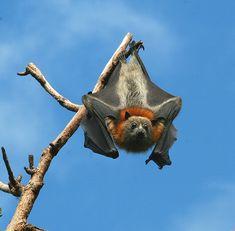 Grey-headed Flying-fox by Chi Liu, via Flickr