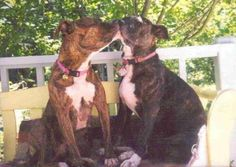 Romance - Love is a Pit Bull Smile - FB