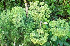 Angelica. http://www.mandycanudigit.co.uk/#!culinary-herbs/c109q